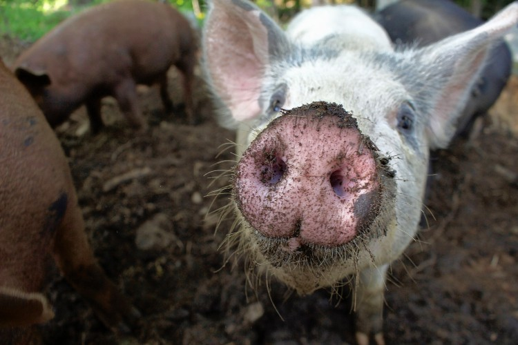 Pay State Farm Bill >> A Pig's Life: From piglet to pork-chop, Week 15