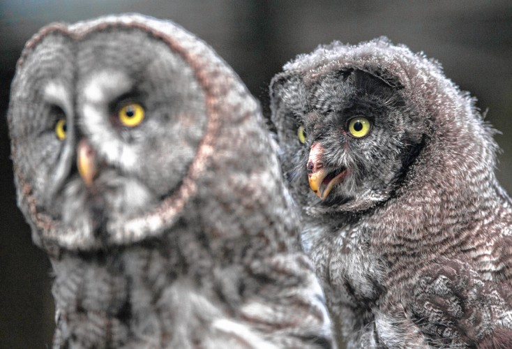 Image of: Wikipedia 10weekold Great Gray Owlet And Her Mother At The Berlin Zoo In Germany Owls Eyes Fill More Than Half The Volume Of Their Skull To Help Them See At Concord Monitor How Animal Eyes Work To See In Dark
