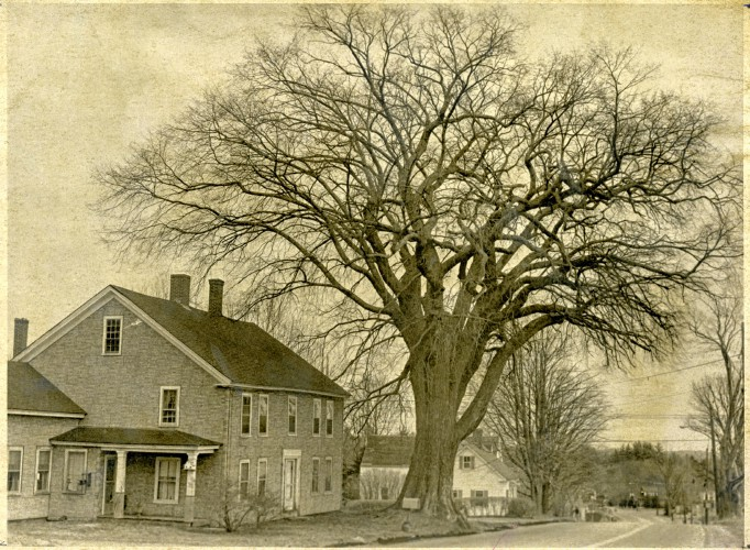 Granite State Stories Dutch Elm Disease Destroys Thousands