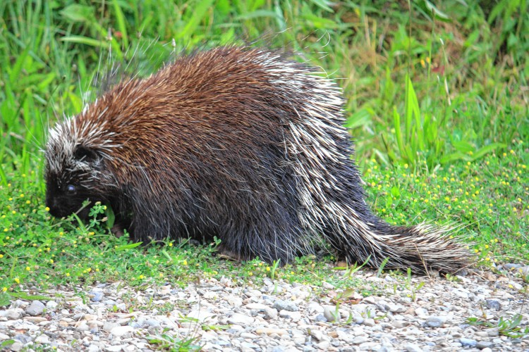 There S More To Porcupines Than Quills