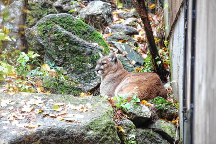 Lion Tales Some Believe Cougars Occasionally Roam The Nh