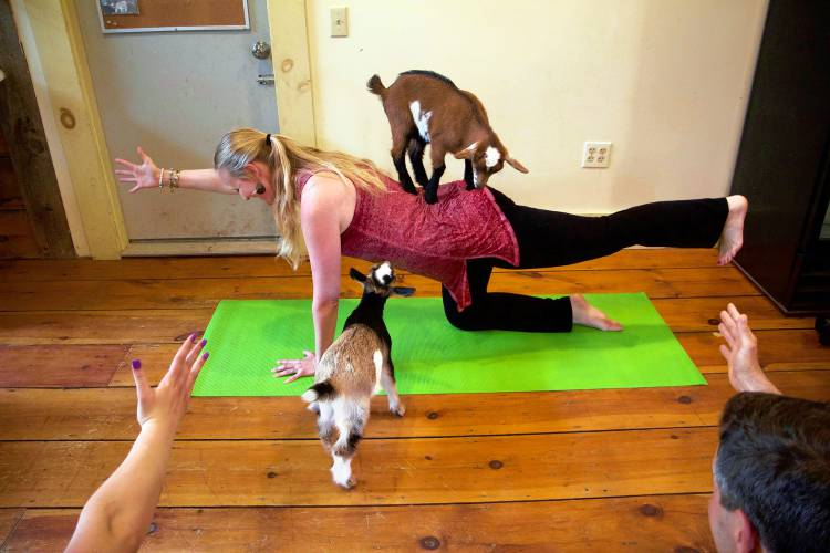 Goat To The Mat Yoga With Goats Class Kids Around On N H