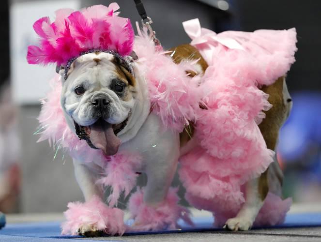 PHOTOS: 'Bow-Z' wows crowd at Iowa beautiful bulldog pageant