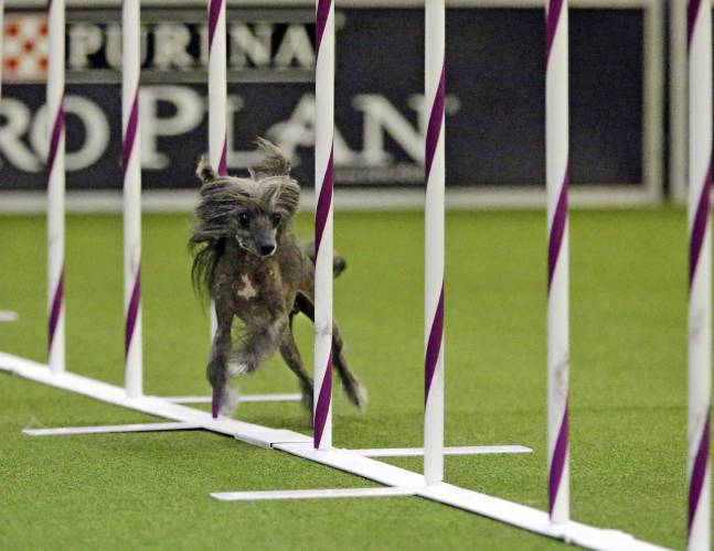 Some Westminster show dogs are show-business dogs, too