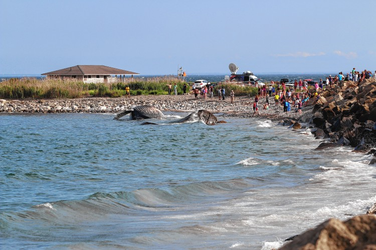 Crowds Flock To The Beach In Rye Look At A 45 Foot Humpback Whale That Washed As Monday Morning Katie Galioto Monitor Staff This Image