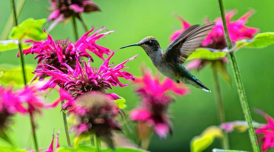 Go try it: Humming along the hummingbird trail in Franklin