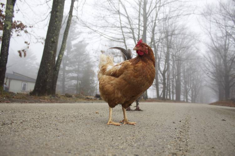 Bill To Crack Down On Wandering Chickens Ruffles Farmers Feathers