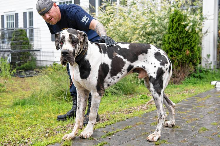 accused wolfeboro great dane owner wants dogs back under her control