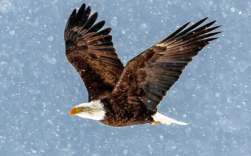 bald eagles are becoming so common in n h they re starting to fight