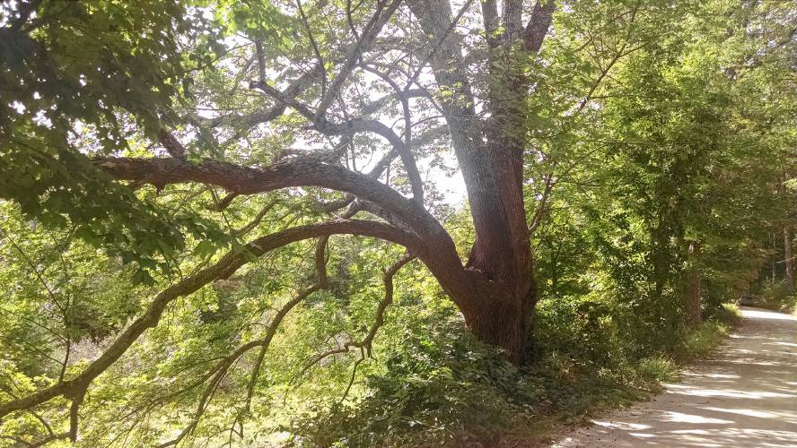 Should we save a huge, old ash tree? It's not an easy decision
