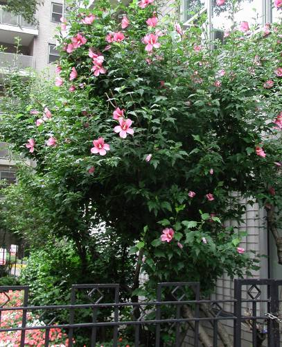 Rose Of Sharon Shrub Is Worth Growing
